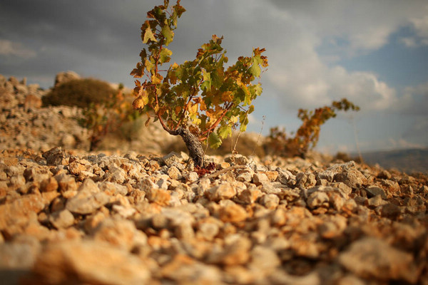 老藤葡萄就会产好酒吗?