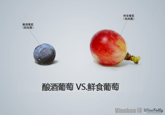 酿酒葡萄VS鲜食葡萄