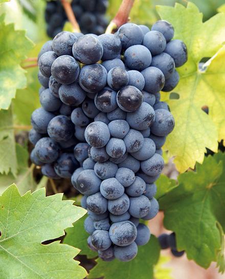 意大利复兴:值得重新认识的葡萄品种