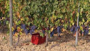 《釀造優質葡萄酒》
