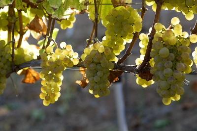 勃艮第的葡萄品种
