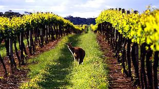 澳洲葡萄酒的九大特点