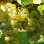 白謝瓦爾Seyval Blanc