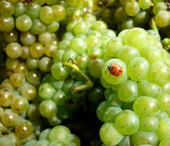 勃艮第香瓜 Melon de Bourgogne