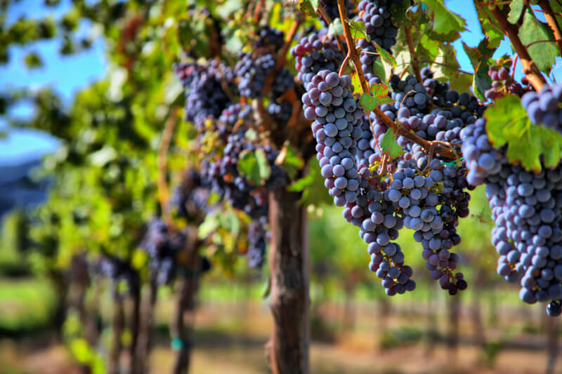 波尔多产区增加7法定品种,以对抗全球变暖