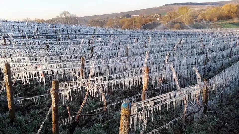疫上加霜!法国多地葡萄园遭遇严重霜冻!(看的我好心疼)|酒斛发现
