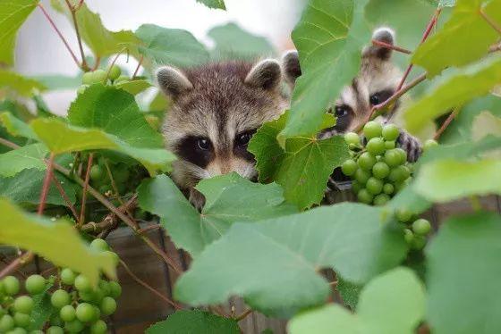 有些动物仿佛生来就与葡萄园有仇!
