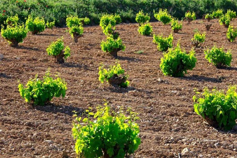 这真是个看脸的世界,葡萄树好看才能酿好酒