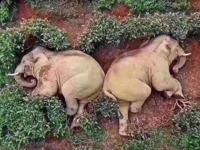 野象狂饮30公斤醉倒?那些动物饮酒的奇葩事件…