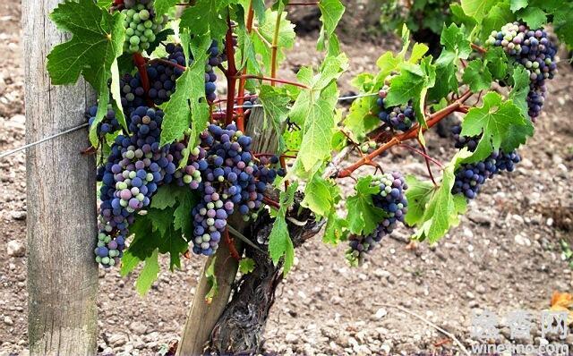 波菲庄园2011年葡萄采摘过程全记录